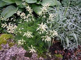 Compatible Perennials for the Hosta Garden