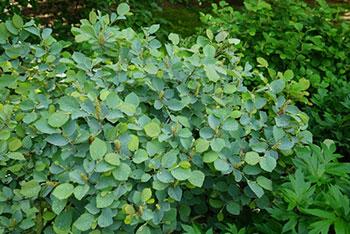 Fothergilla-x-intermedia-'Blue-Shadow'-foliage