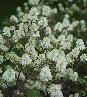 Fothergilla-x-intermedia-'Blue-Shadow'